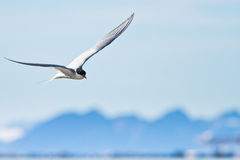 Arktisk akter Fotografering för Bildbyråer