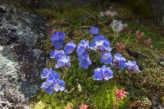 Arktisk alpin förgätmigej för alpin blommaEritrichium nanum, Aosta Valley Royaltyfri Foto