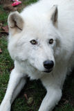 arktisk closeupwolf Arkivbild