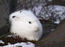 Arktisk hare royaltyfria foton