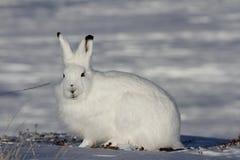 Arktisk hare som stirrar in mot kameran på en snöig tundra Arkivfoto