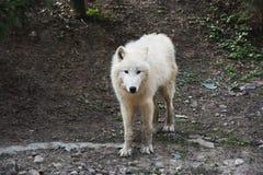 arktisk kamera som ser wolfen Arkivfoton