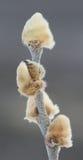 Arktisk pil - Salixarctica Arkivfoto