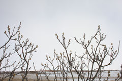 Arktisk pil - Salixarctica Royaltyfri Bild