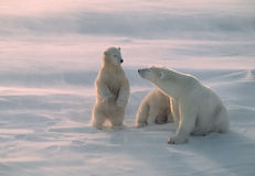 arktisk polar björnkanadensare royaltyfri bild