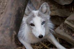 arktisk räv arkivfoto