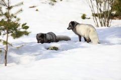 arktisk räv Royaltyfri Bild