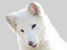 arktisk räv Royaltyfri Foto