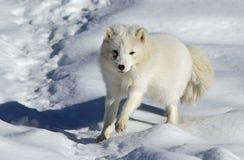 arktisk räv Royaltyfria Bilder