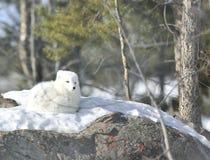 arktisk räv Royaltyfri Fotografi