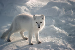 arktisk räv Arkivbilder