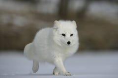 Arktisk räv, Alopexlagopus Arkivfoton