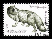 Arktisk räv (Alopexlagopusen), värdefull art av denlager anien Royaltyfri Bild