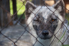 Arktisk räv i en bur Arkivbilder