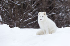 Arktisk räv i en vinterplats Arkivfoto