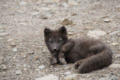Arktisk räv, Island Royaltyfri Bild