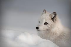 arktisk rävvinter arkivfoto