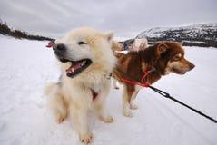 Arktisk slädehundkapplöpning Royaltyfri Fotografi