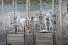 Arktisk slädehundkapplöpning i deras hundkoja, nordpolen, Svalbard Royaltyfri Bild