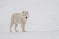 arktisk snowwolf Arkivfoto