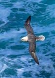 Arktisk stormfågel med utbredda vingflugor över löst atlantiskt vatten i Skottland royaltyfri fotografi