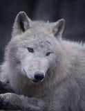 Arktisk varg fotografering för bildbyråer