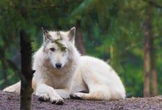 Arktisk varg royaltyfri foto