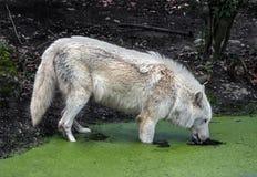 Arktisk varg på att bevattna pöl 2 Arkivbilder