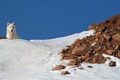 Arktisk varg på den snöig bergstoppet Royaltyfri Fotografi
