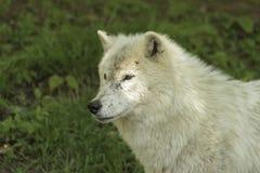 Arktisk varg på våren Arkivbilder