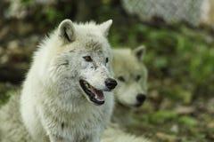 Arktisk varg på våren Royaltyfria Bilder