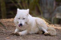 Arktisk varg som ligger på jordning Arkivbilder