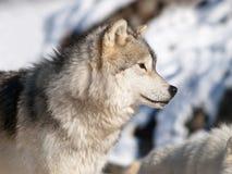 arktisk vinterwolf Arkivbild