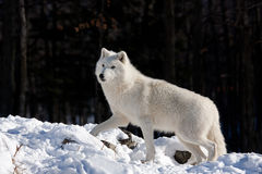 arktisk vinterwolf Royaltyfria Bilder