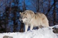 arktisk vinterwolf Arkivbilder