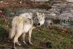 arktisk wolf Arkivbild