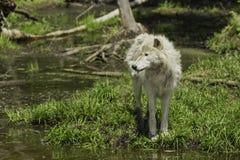 arktisk wolf Arkivbilder