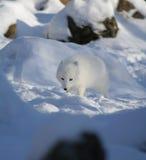 arktisk wolf Royaltyfri Bild