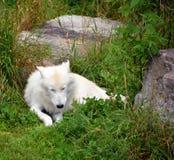 arktisk wolf Royaltyfria Bilder