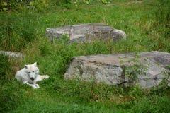 arktisk wolf Royaltyfri Foto