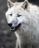 arktisk wolf för arctoscanislupus Arkivbild