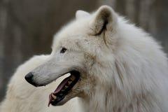 arktisk wolf för arctoscanislupus Arkivfoto