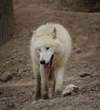 Arktiska varger fotografering för bildbyråer