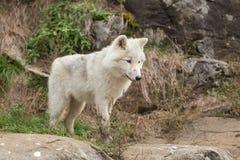 Arktiska varger i en skog Royaltyfri Fotografi
