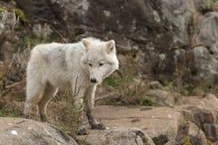Arktiska varger i en skog Arkivbild