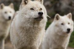 Arktiska varger i en skog Fotografering för Bildbyråer