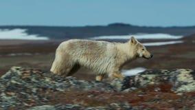 Arktiska varger, vargen kör på flocken som försöker att spola ut det svagt eller det långsamt Norr Kanada arkivfoto