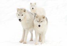 arktiska wolves arkivbilder