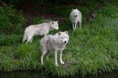 arktiska wolves arkivfoton