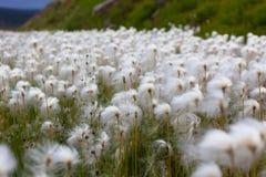 Arktiskt bomullsgräs i Island Arkivbilder